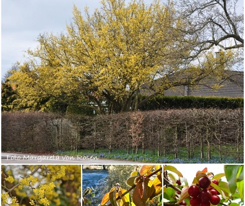 Vårens första budbärare blommar ofta gult